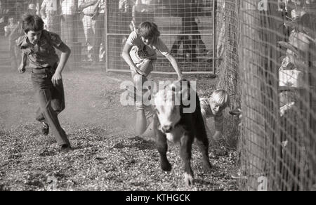 KINGAROY, AUSTRALIA, CIRCA 1980: Unidentified boys chase a calf during a small town rodeo, circa 1980 in Kingaroy, - Stock Photo