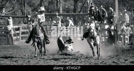 PROSTON, AUSTRALIA, CIRCA 1980: Unidentified competitor lands with his steer in the bulldogging event during a small - Stock Photo