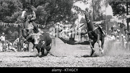 KINGAROY, AUSTRALIA, CIRCA 1980: Unidentified competitor stretches out in the bulldogging event during a small town - Stock Photo