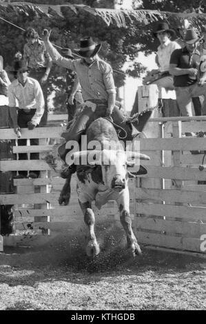 KINGAROY, AUSTRALIA, CIRCA 1980: Unidentified contestant rides a bull during a small town rodeo, circa 1980 in Kingaroy, - Stock Photo