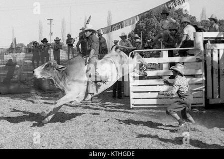 PROSTON, AUSTRALIA, CIRCA 1980: Unidentified contestant rides a bull during a small town rodeo, circa 1980 in Proston, - Stock Photo