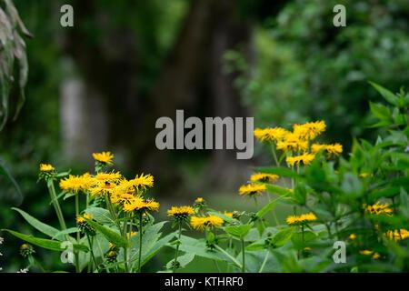 Doronicum orientale,Leopard's Bane,yellow,flower,flowers,flowering,perennial,RM Floral - Stock Photo