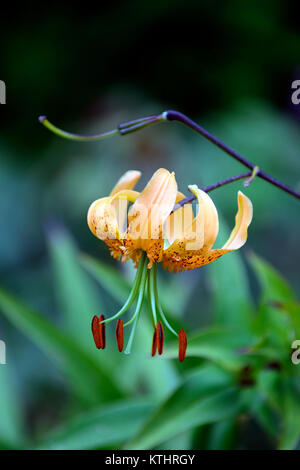 lilium henryi,lily,lilies,orange,flowers,speckled,markings,plant portraits,closeup,turks cap,henry's lily,RM floral - Stock Photo