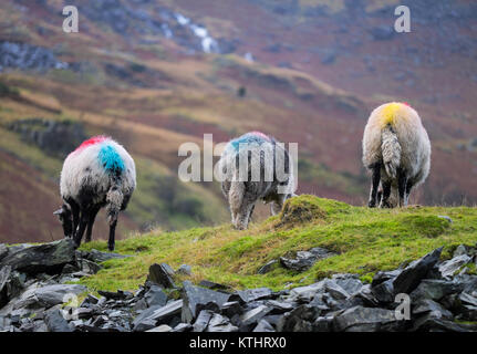 Hardwick sheep grazing at Coniston. Lake District National Park Cumbria England - Stock Photo