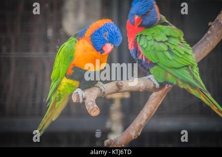 rainbow lorikeet is a species of parrot found in Australia