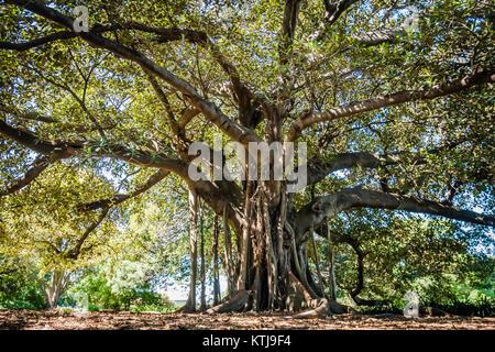 huge old tree sydney botanic garden - Stock Photo