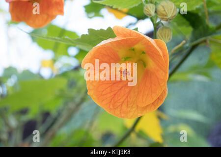sydney flower show in the royal botanic garden - Stock Photo