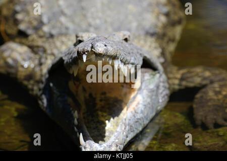 Big crocodile in National park of Kenya, Africa - Stock Photo