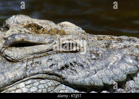 Crocodile in river. National park of Africa - Stock Photo