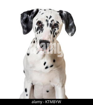 portrait of a dalmatian dog puppy (5 months old) - Stock Photo