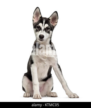 Siberian Husky puppy (5 months old), isolated on white - Stock Photo