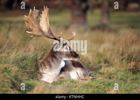 Richmond Park, UK. 26th Dec, 2017. Deer in Richmond Park on Boxing Day Credit: Oliver Dixon/Alamy Live News - Stock Photo