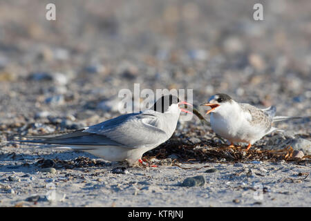 Arctic tern (Sterna paradisaea) feeding fish to chick on beach in summer - Stock Photo
