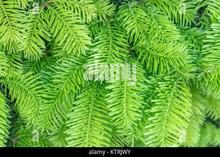 Closeup of pine branches; Background of green twigs; Fluffy young branch fir tree with drops - Stock Photo