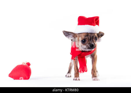 Little chihuahua in Santa suit - Stock Photo