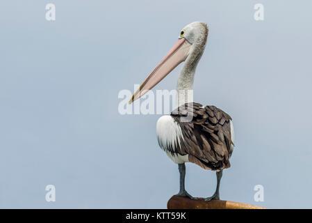 Australian pelican (Pelecanus conspicillatus), Perth, Australia - Stock Photo