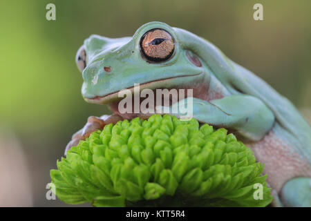 Close-up of a dumpy tree frog on a flower - Stock Photo