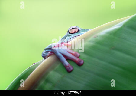 Dumpy tree frog on a leaf, Indonesia - Stock Photo