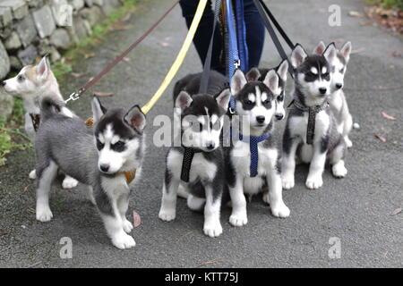 Siberian Husky Pups on a lead - Stock Photo