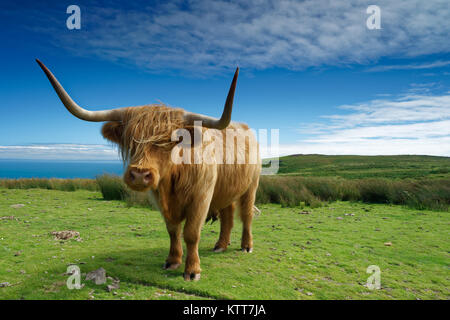 A Longhorn bull enjoys the sunshine on the small windswept island of Lundy off the coast of North Devon. - Stock Photo