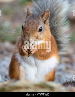 A Red Squirrel at Pow Hill, County Durham United Kingdom eating a nut - Stock Photo