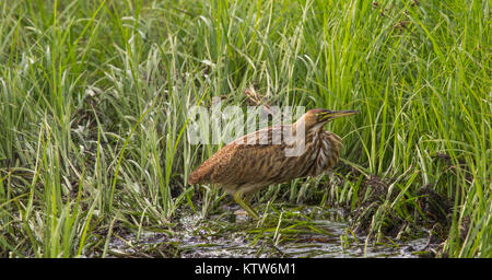 American bittern in northern Wisconsin. - Stock Photo