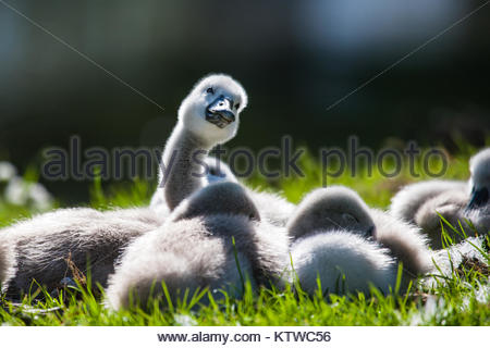 Cygnets in the sun - Stock Photo