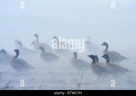 Pink-footed Geese Anser brachyrhynchus feeding in harvested sugar beet field in torrential rain and 50 mph winds, - Stock Photo