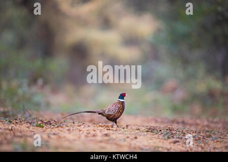 Common Pheasant Phasianus colchicus male in woodland November Norfolk - Stock Photo