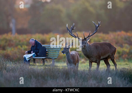Red Deer Cervus elaphus stag and hind and local resing paper at dawn during rut Bushy Park London October - Stock Photo