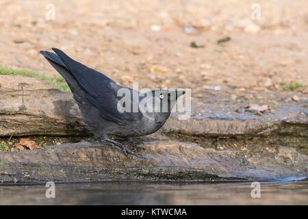 Jack Daw (Western Jackdaw) Corvus monedula drinking Bushy Park London October - Stock Photo