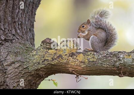 Grey (Eastern Gray Squirrel) Squirrel Sciurus carolinensis eating sweet chestnut Bushy Park London October - Stock Photo