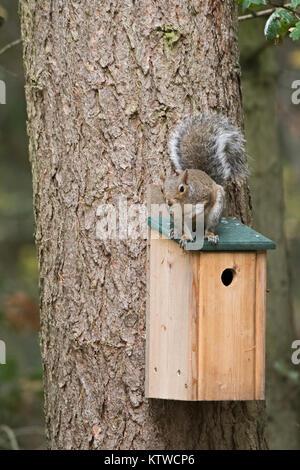 Grey (Eastern Gray Squirrel) Squirrel Sciurus carolinensis sitting on nest box in woodland Norfolk October