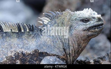 A marine iguana or Galápagos marine iguana (Amblyrhynchus cristatus cristatus). This subspecies is endemic to Isabela - Stock Photo