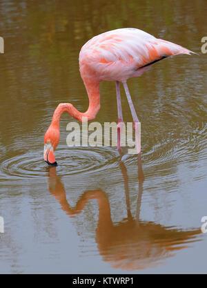 An American flamingo (Phoenicopterus ruber) feeding in a lagoon near Puerto Villamil. Puerto Villamil, Isabela, - Stock Photo