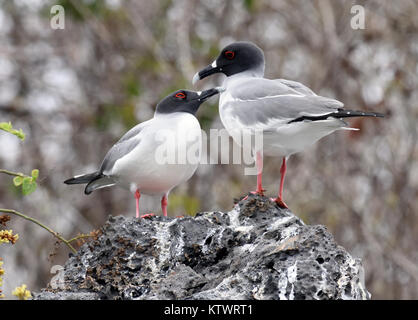 A pair of swallow-tailed gulls (Creagrus furcatus) on sea cliffs at their nesting site near Playa Ochoa. Swallow - Stock Photo