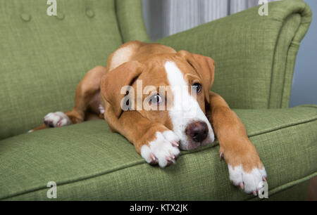 Fawn and White Mixed Breed Puppy Laying on Green Chair at Home - Stock Photo
