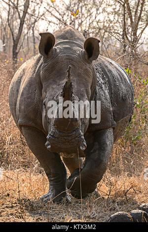 White rhinocerous - Stock Photo