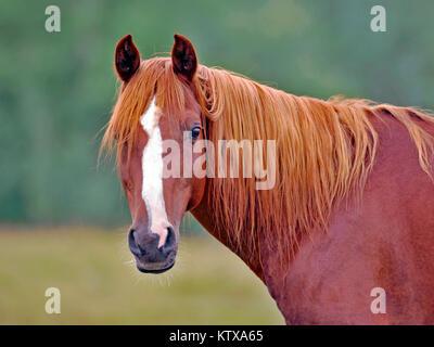 Portrait of beautiful chestnut Arabian Stallion standing in field. - Stock Photo