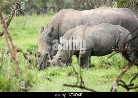 Southern white rhinos, mother and calf, at Ziwa Rhino Sanctuary, Uganda, Africa - Stock Photo