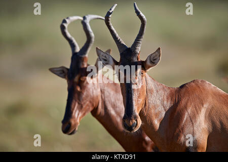 Red hartebeest (Alcelaphus buselaphus), Kgalagadi Transfrontier Park, South Africa, Africa - Stock Photo
