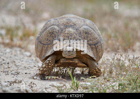 Leopard tortoise (Geochelone pardalis), Kgalagadi Transfrontier Park, South Africa, Africa - Stock Photo