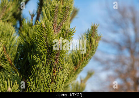 Closeup of branches and needles of scotch pine or scots pine, Pinus sylvestris, young tree in an urban environment. - Stock Photo