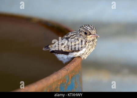 Little cuckoo on the edge of an iron barrel close up - Stock Photo