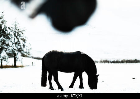 Towford, Jedburgh, Scottish Borders, UK. 26th December 2017. Fell ponies graze amongst deep snow on Boxing Day. - Stock Photo