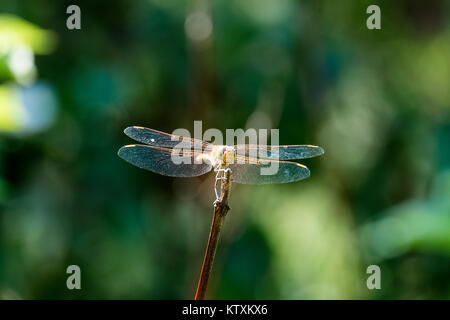 Female tawny dragonfly the ruddy darter sits on a branch (Sympetrum sanguineum) - Stock Photo