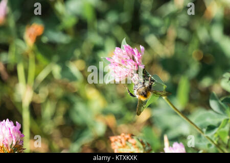 Honey Bee collects pollen from a clover flower (Apis mellifera) - Stock Photo