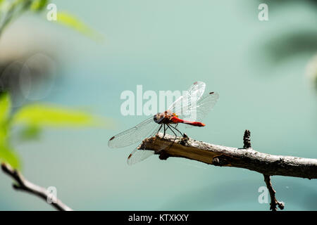 Male red dragonfly the ruddy darter sits on a branch (Sympetrum sanguineum) - Stock Photo