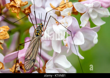 Insect or Bug on the Flower. Close up Macro photo of Mosquito. - Stock Photo