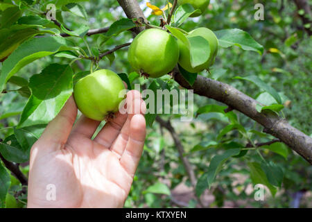 Farmer man holding an apple. Gardener hand picking green apple. - Stock Photo